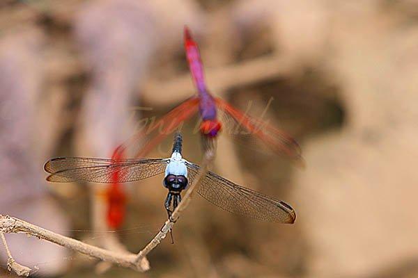 Dragonflies Ain Razat