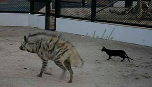 Hyaena and Black Cat