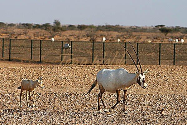 Oryx Jaaluni
