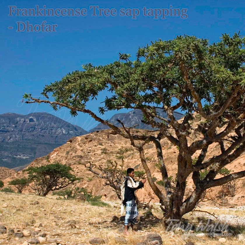 Frankincense Tree Dhofar