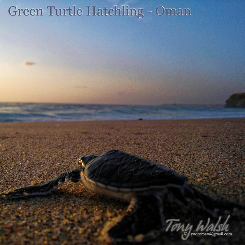 Green Turtle Baby Oman