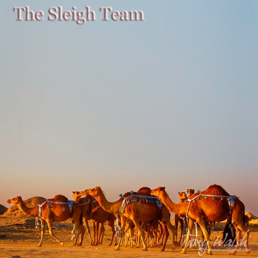 The Camel Sleigh Team