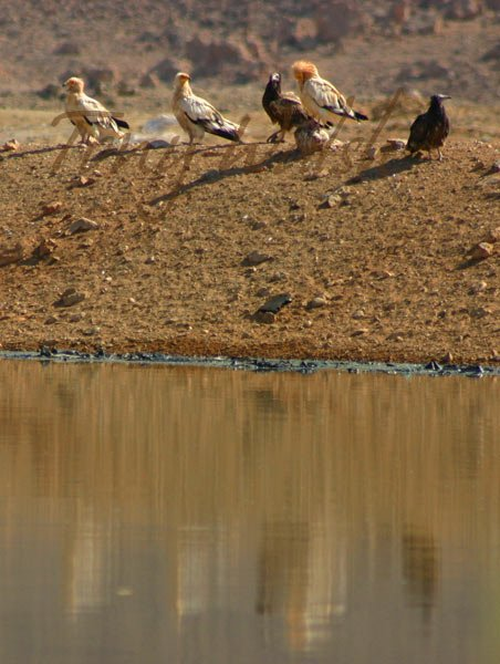 Egyptian Vultures in Muscat
