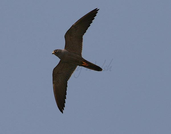 Sooty Falcon Flying over Oman