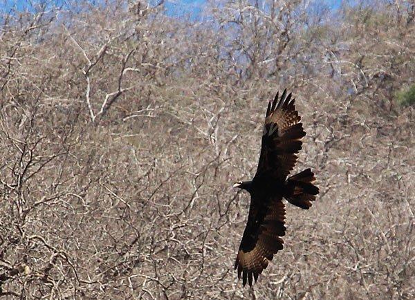 Verreaux's Eagle Oman