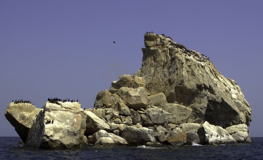 Socotra Cormorants in the Strait of Hormuz