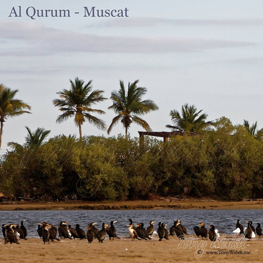Al Qurum Cormorants Oman