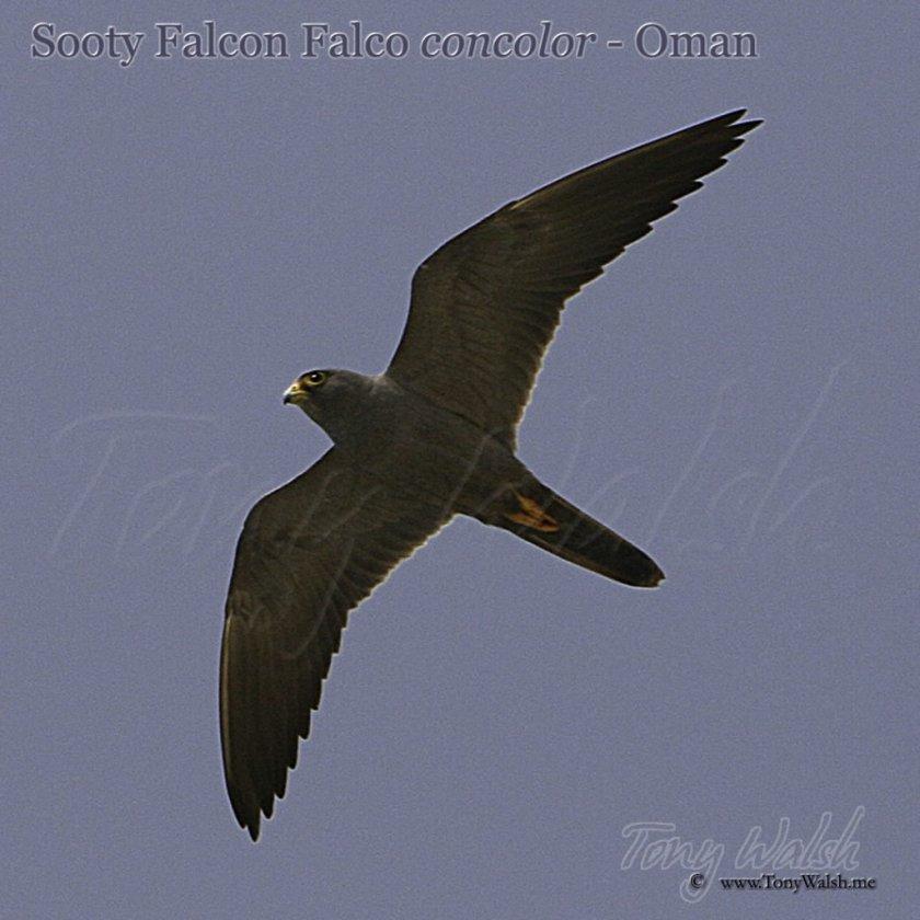 Sooty Falcon Falco concolor - Oman