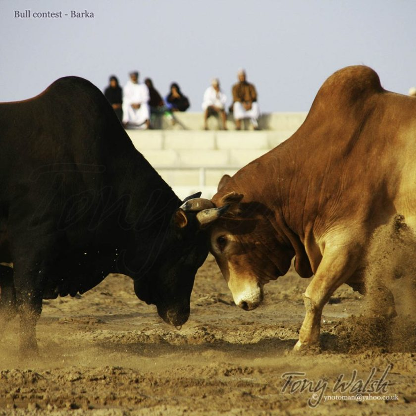 Batinah Bull contest