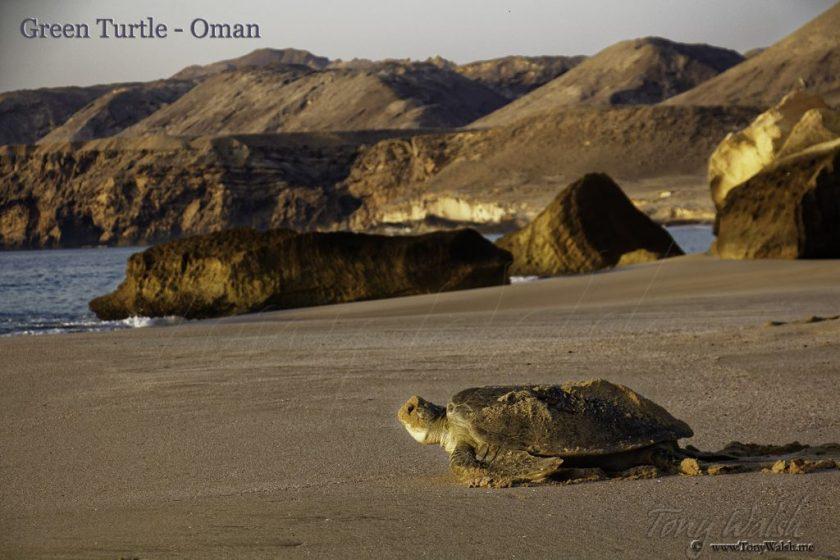 Green Turtle Oman