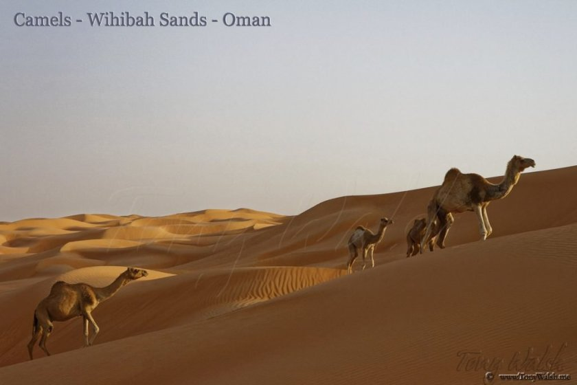 Camels Wihibah Sands - which we should see on this guided small group tour to Oman & Jordan