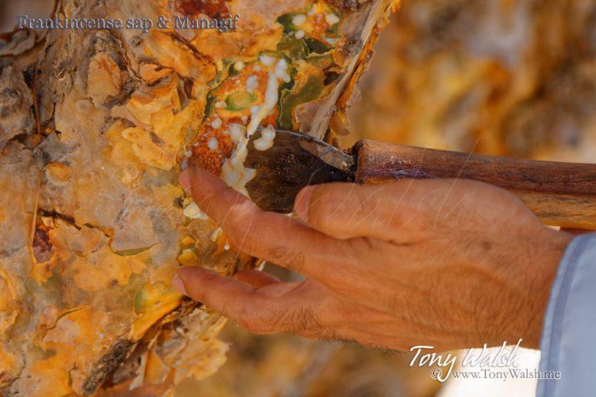 Frankincense sap & Managif
