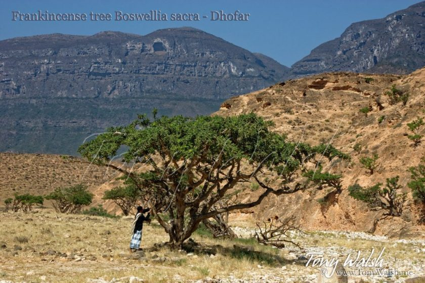 Frankincense tree Boswellia sacra - Dhofar