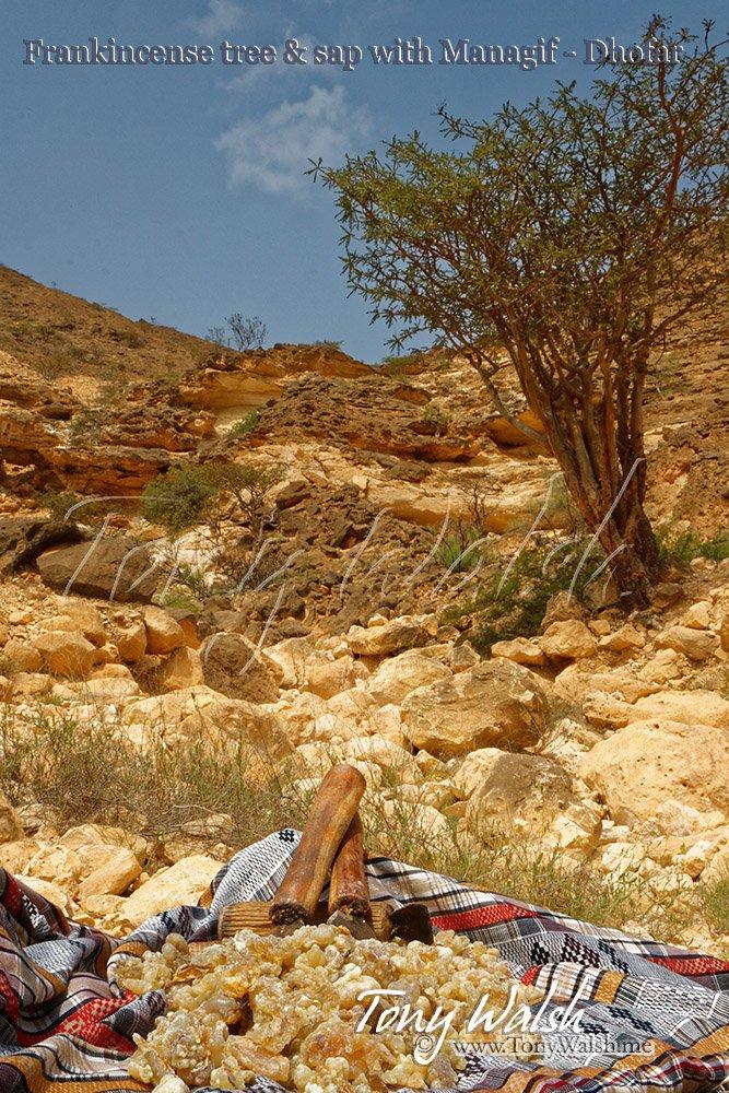 Frankincense tree & sap with Managif - Dhofar