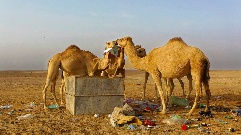 Camels and Trash