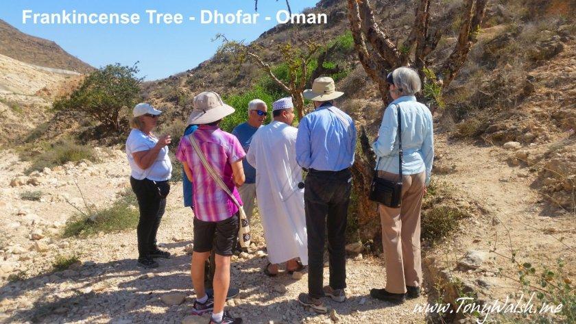 Frankincense Tree - Dhofar - Oman