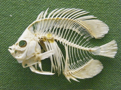 BLW_Meyer's_Butterfly_Fish