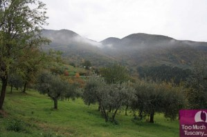 Olive trees in Umbria