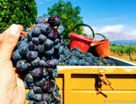 Harvest in Tuscany