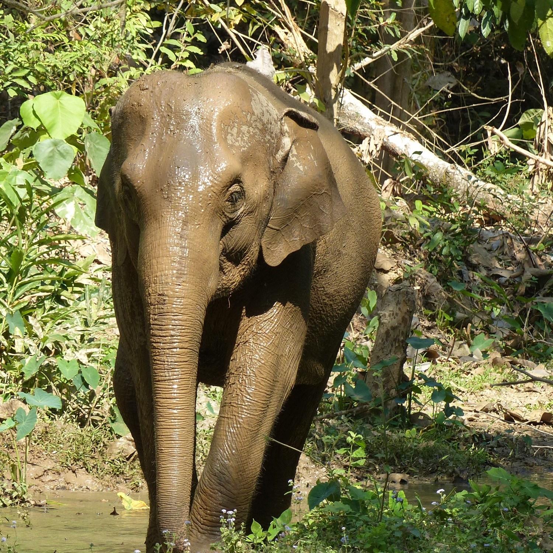 Wet elephant after bathing