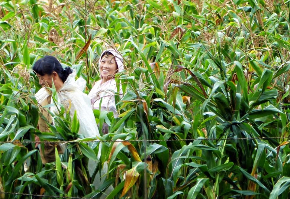 Women harvesting corn in North Korea
