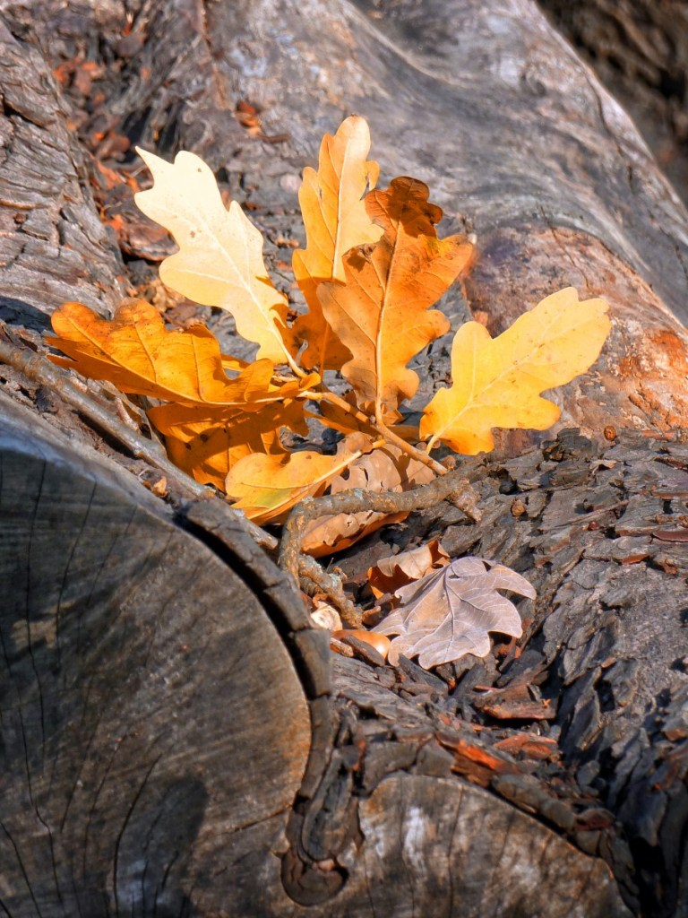 Oak leaves on a log