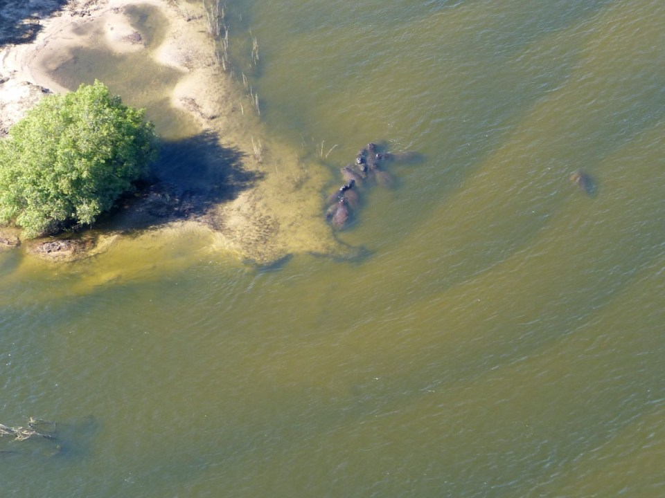 Hippos in a river from the air