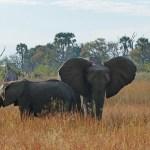 Two elephants in long grass