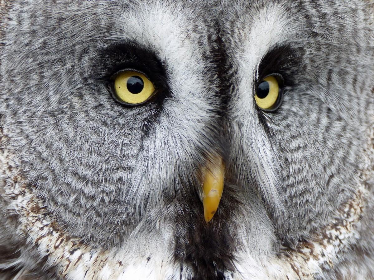 Close-up of a grey owl's face