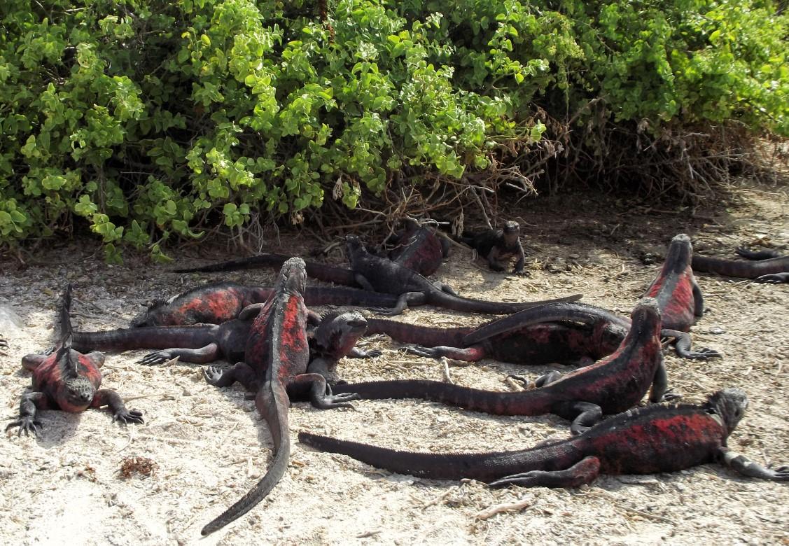 Red and black iguanas clustered together