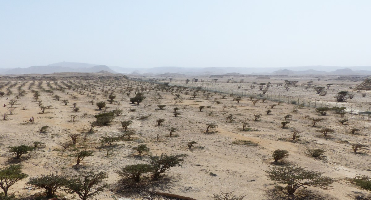 Barren landscape with cultivated small trees