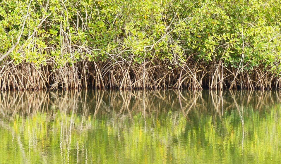 Mangrove roots reflected in water