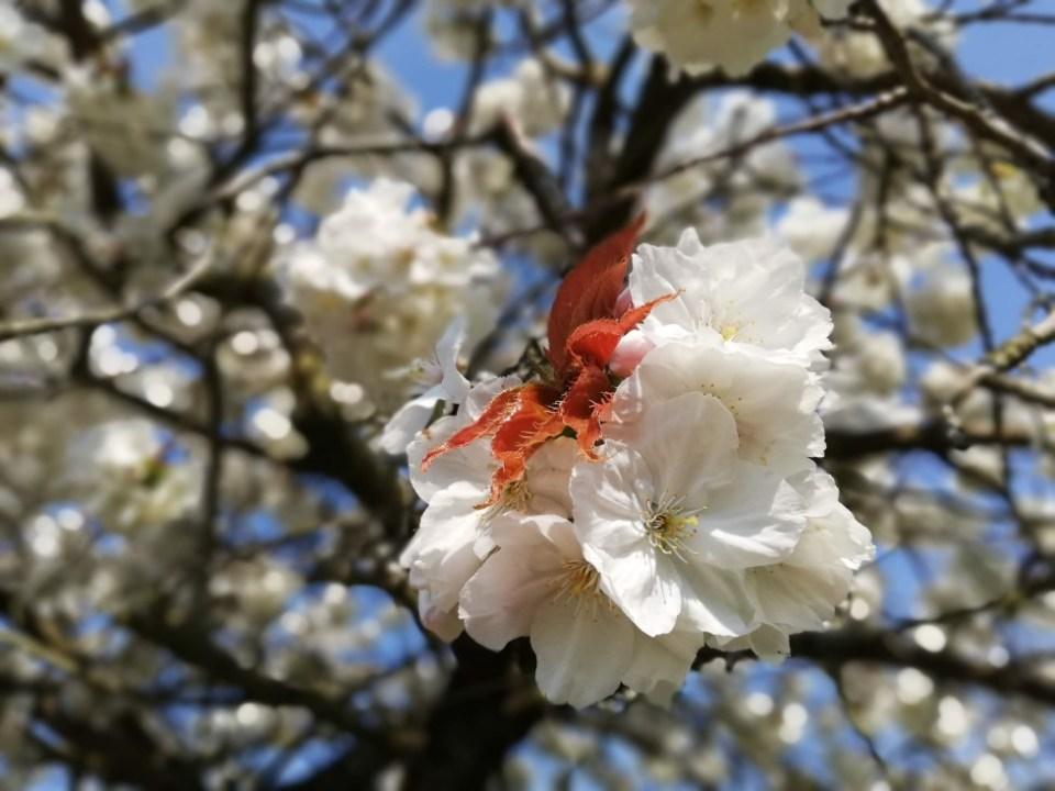 White blossom detail