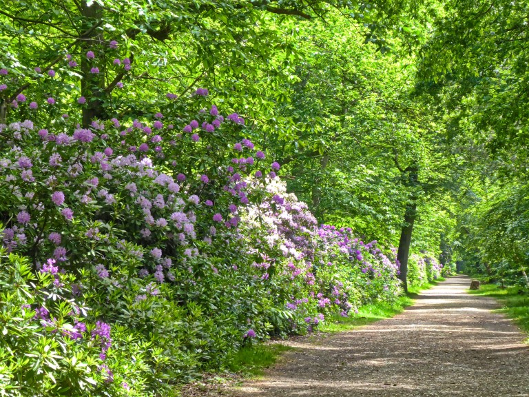 Path past rhododendrons in flower