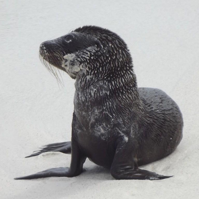 Small sea lion pup on white sand beach