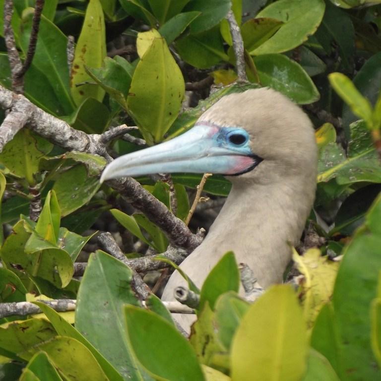 Bird with blue beak among mangrove leaves