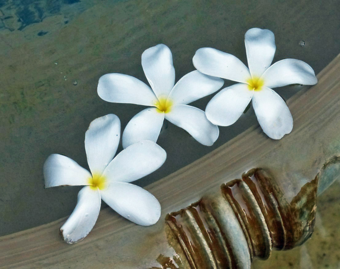 White flowers floating in a small pool
