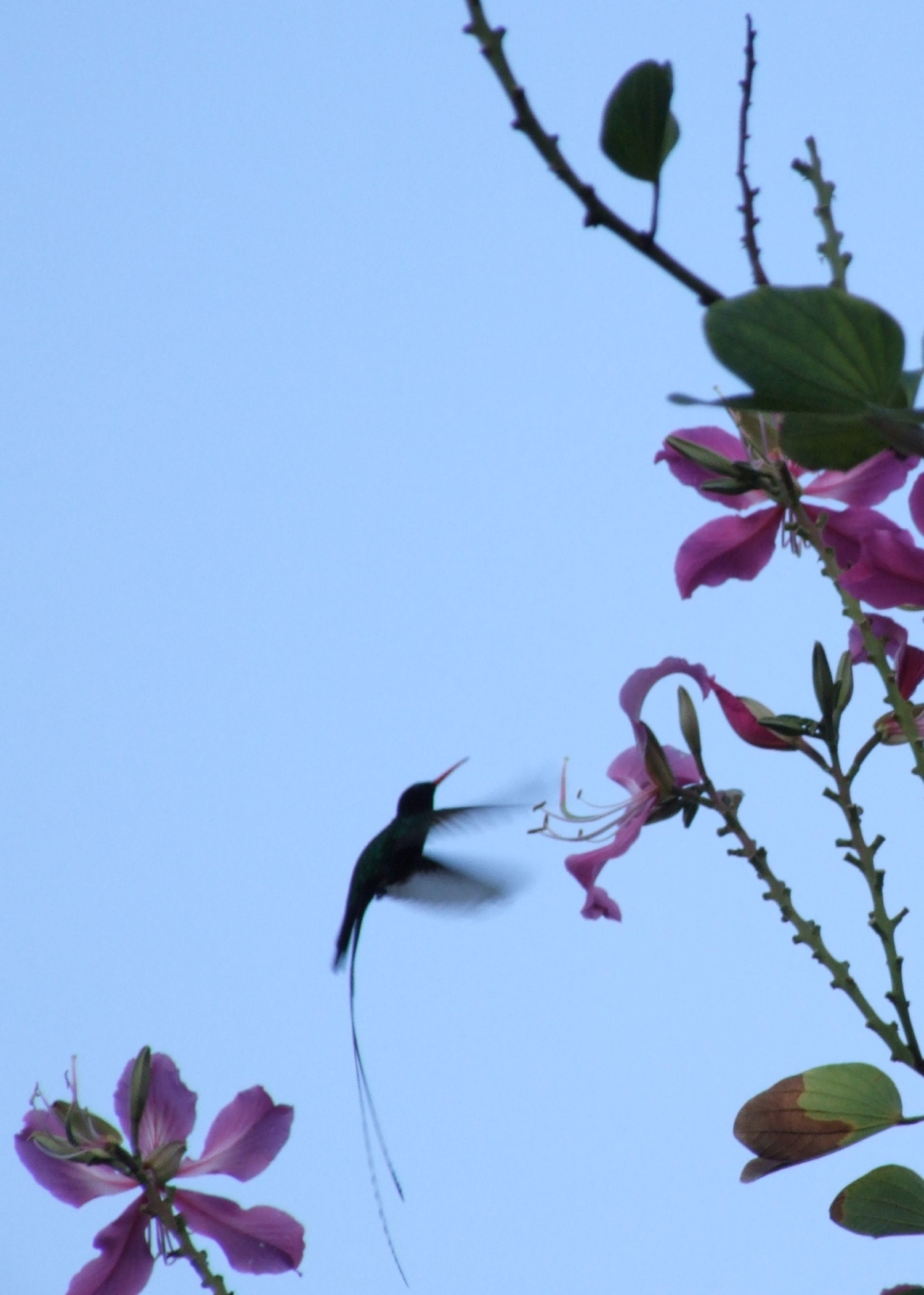 Silhouette of bird with long streamer feathers for tail