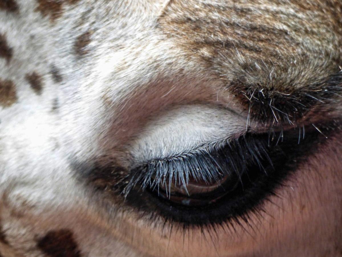 Close up of giraffe's eye