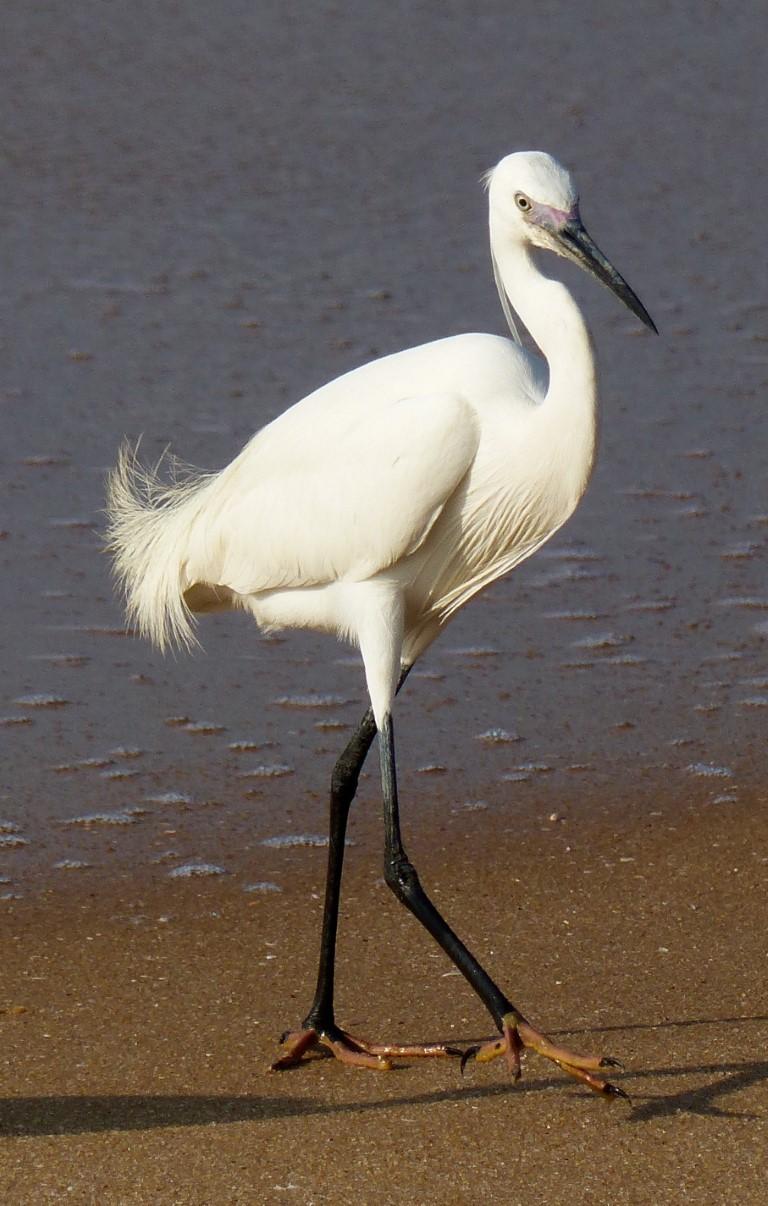 Egret walking on a beach