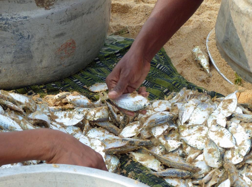 Hands sorting through small fish