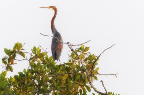 Large heron on top of a mangrove tree