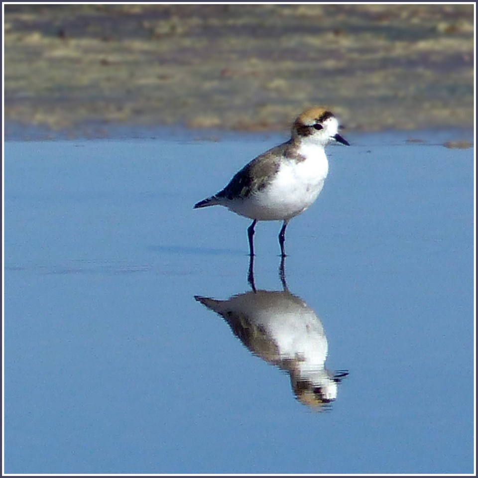 White and brown bird reflected in blue water