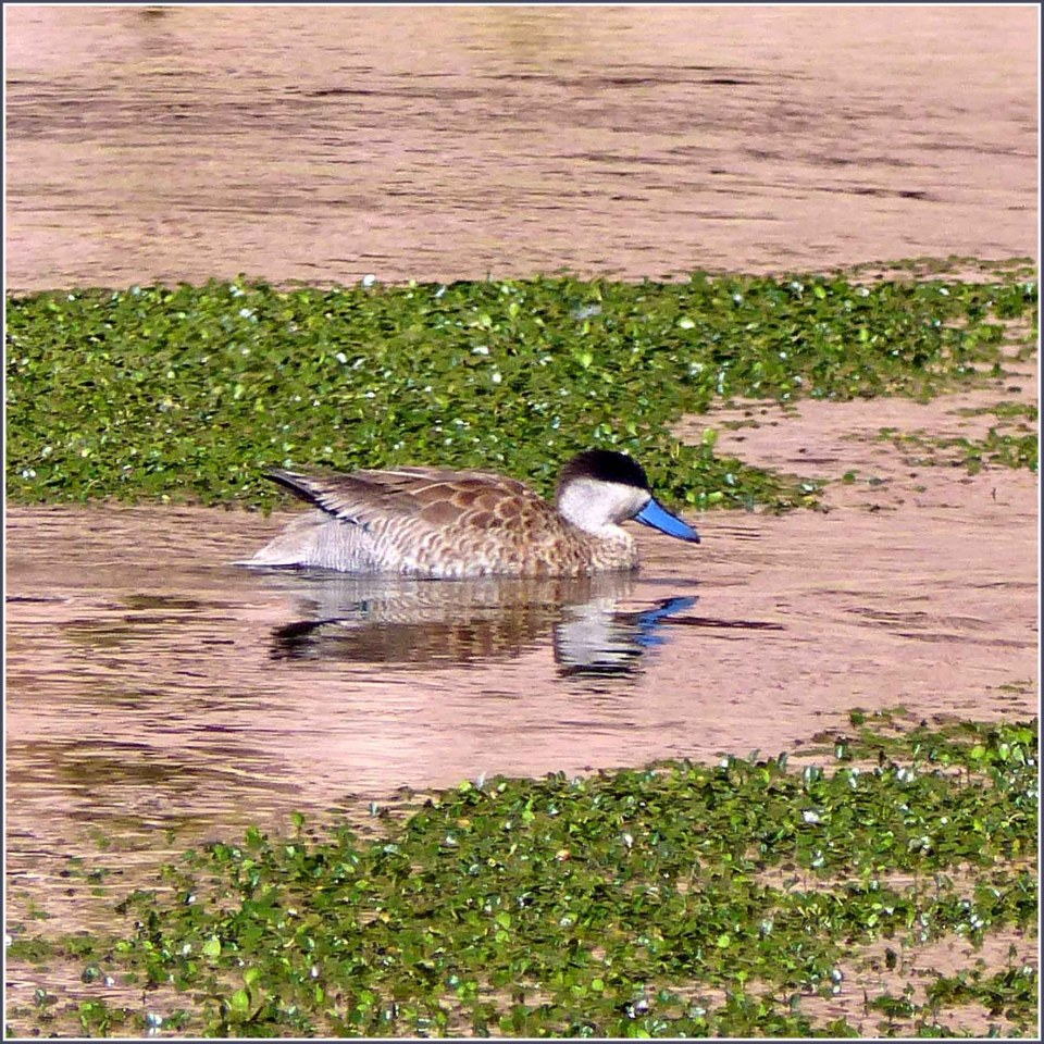 Brown duck with blue bill