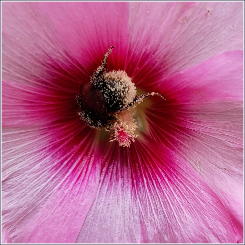 Close-up of pink flower and bee with pollen