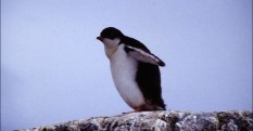 Young penguin on a rock