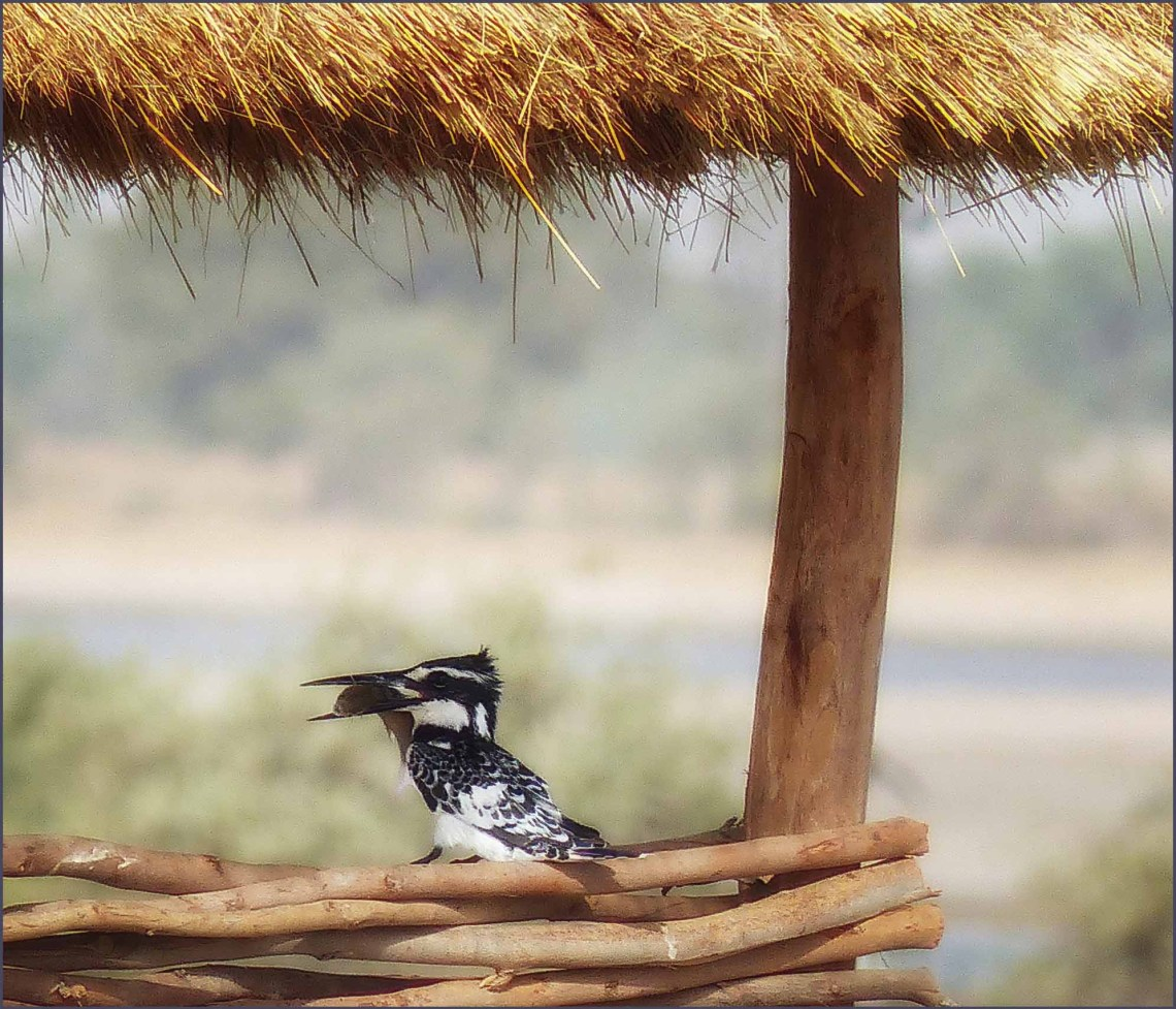 Black and white kingfisher eating a fish