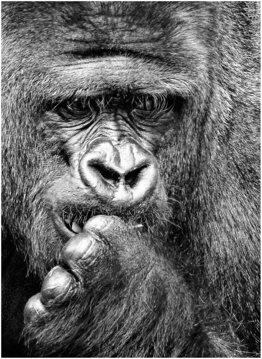 Black and white photo of a gorilla's face