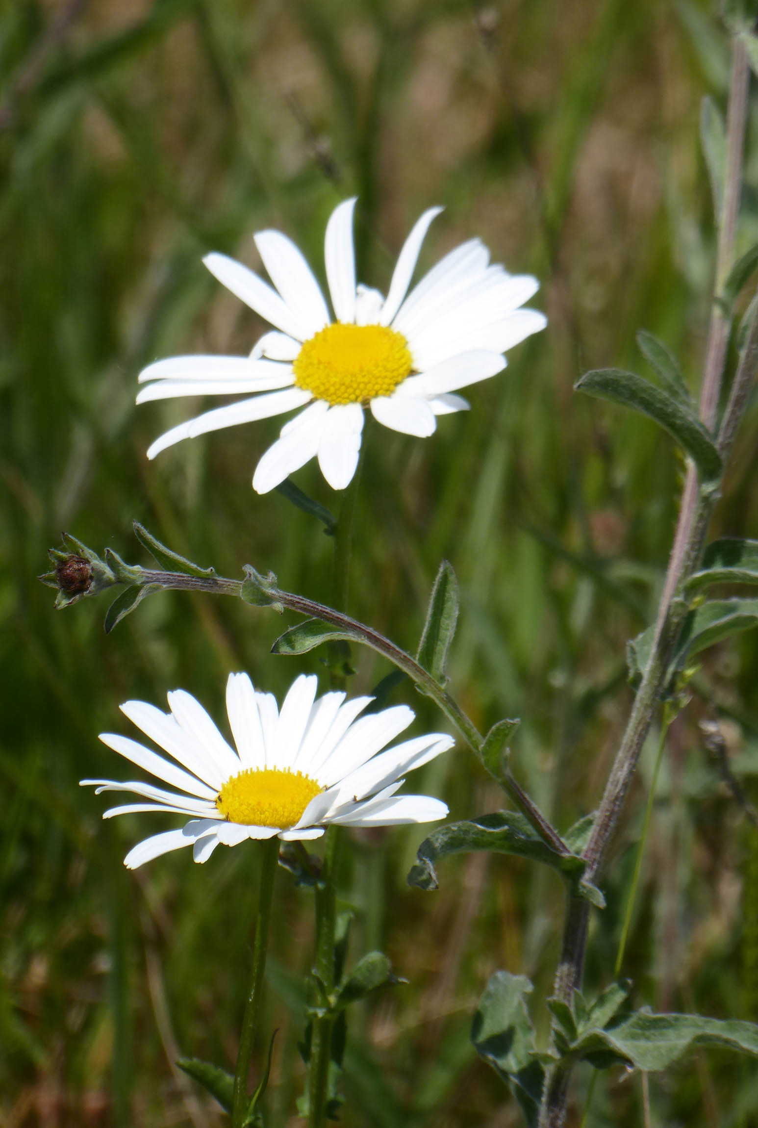 Two large daisies