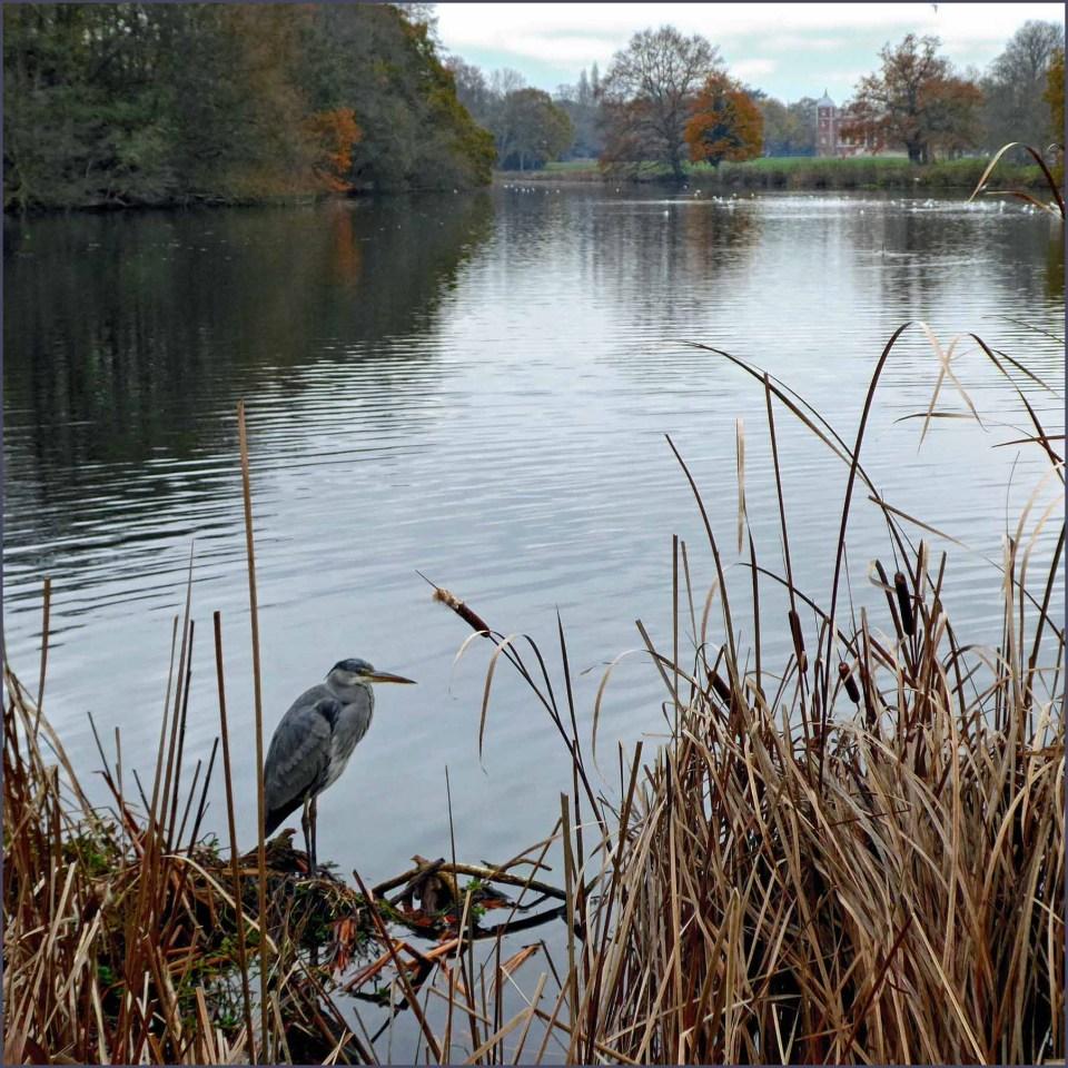 Large grey bird among bullrushes by a lake